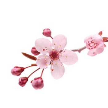 Seifenduft-Öl - 3er-Set - Kirschblüte, Pfirsich, Lavendel